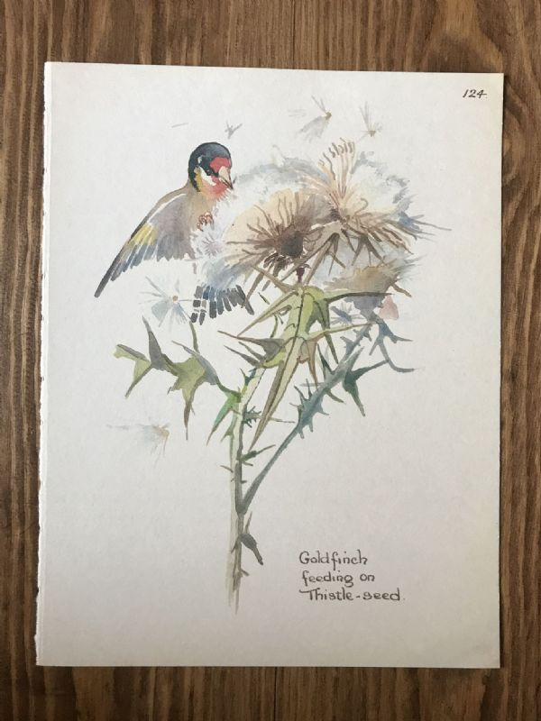 Goldfinch - Country Diary of an Edwardian Lady - Book Page -